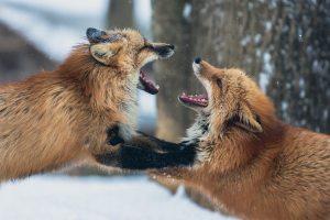 raposas brigando